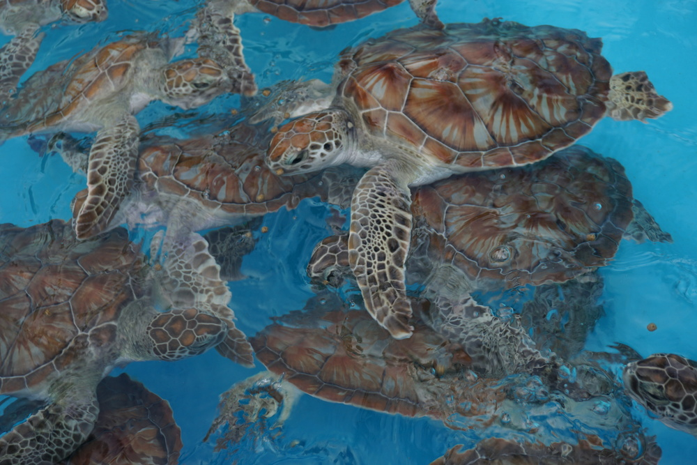 Juvenile sea turtles at the Cayo Largo Center for Sea Turtle Rescue. Photo by Daniel Ward.