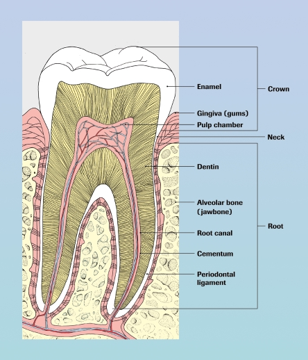 Anatomy of a healthy tooth