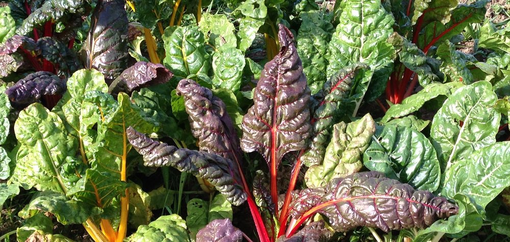 This lovely chard would make a nice addition to a green smoothie!