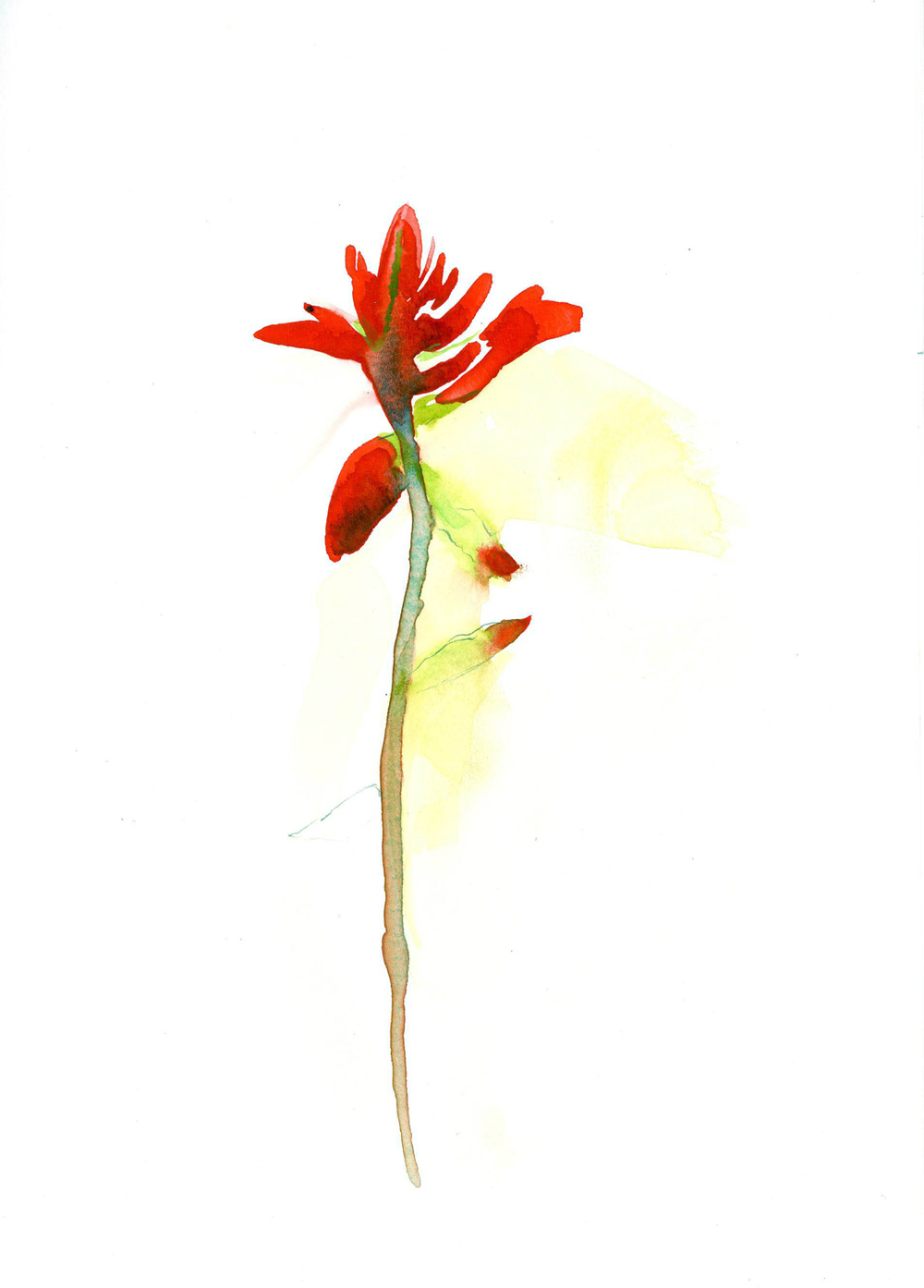 "INDIAN PAINTBRUSH     5 1/2"" x 8"" — watercolor on paper    $360"