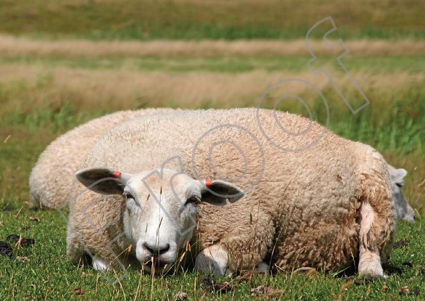 SHEEP F.jpg