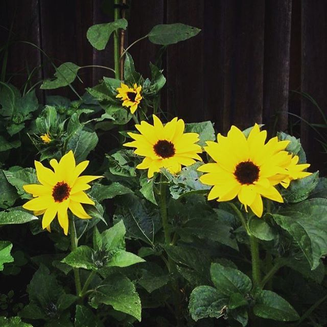 Our first sunflowers of summer! #flowers #flower #petal #petals #nature #beautiful #love #pretty #plants #blossom #sopretty #spring #summer #flowerstagram #flowersofinstagram #flowerstyles_gf #flowerslovers #flowerporn #botanical #floral #florals #insta_pick_blossom #flowermagic #instablooms #bloom #blooms #botanical #floweroftheday #framing