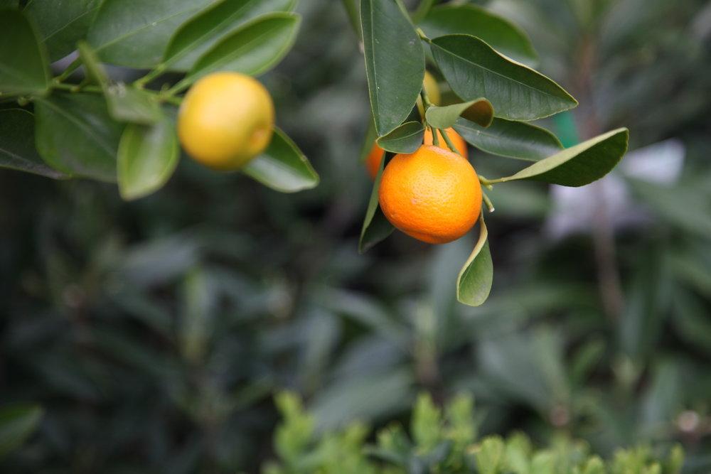citrus-tree.JPG