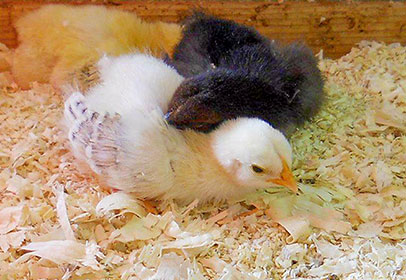 New chicks arrive all season!