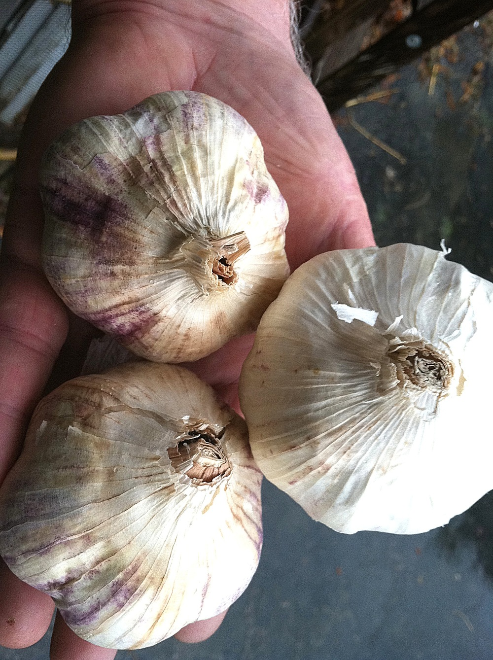 Red Toch heirloom garlic