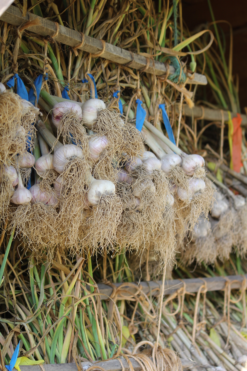 Our heirloom garlic curing in a drying shed.