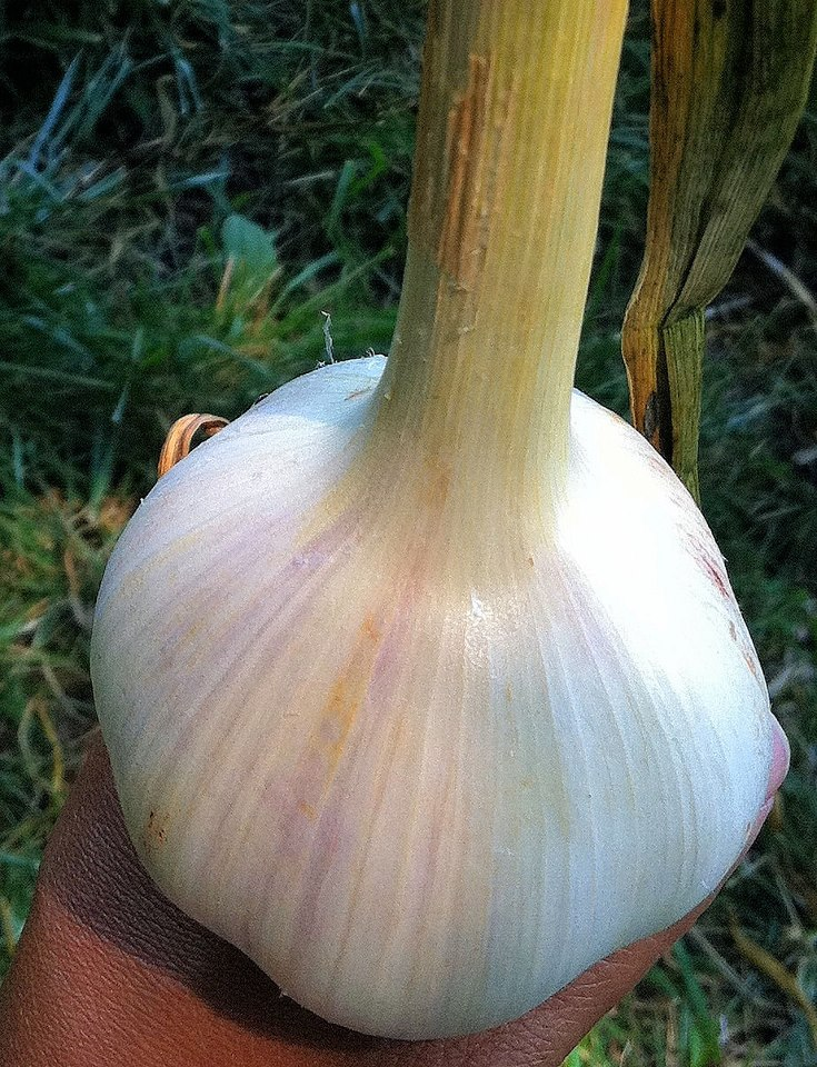 Georgian Crystal heirloom garlic