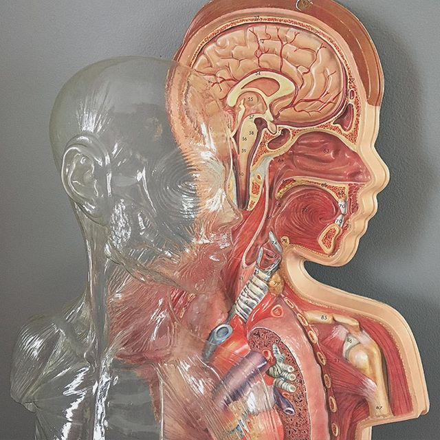 "Newly acquired Hubbard Scientific anatomy model, about 26"" tall! 🙌 #vintage #oddities #anatomy #humanbody #3D #hubbardscientific #homedecor #fleamarket #grandrapids #michigan"