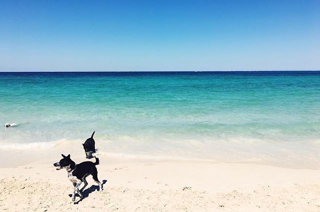 My favorite beach in #Perth: one filled with dogs. 🐶