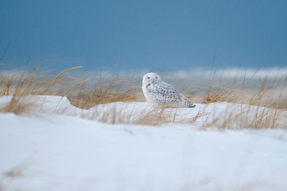 Snowy Owl-Presque Isle_1.2.18-85.jpg