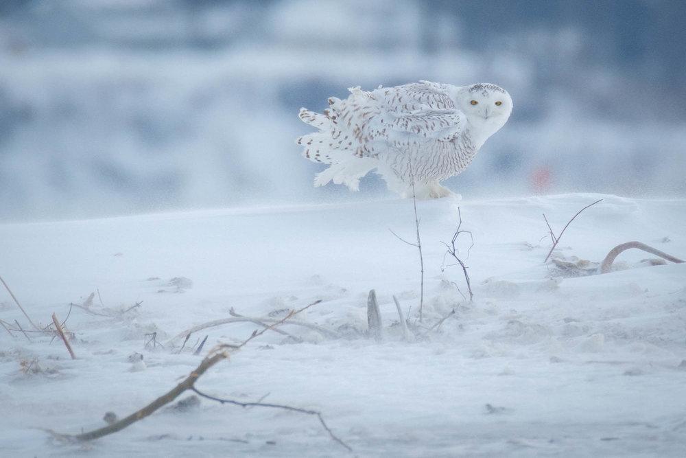 Snowy Owl-Presque Isle_1.2.18-43.jpg