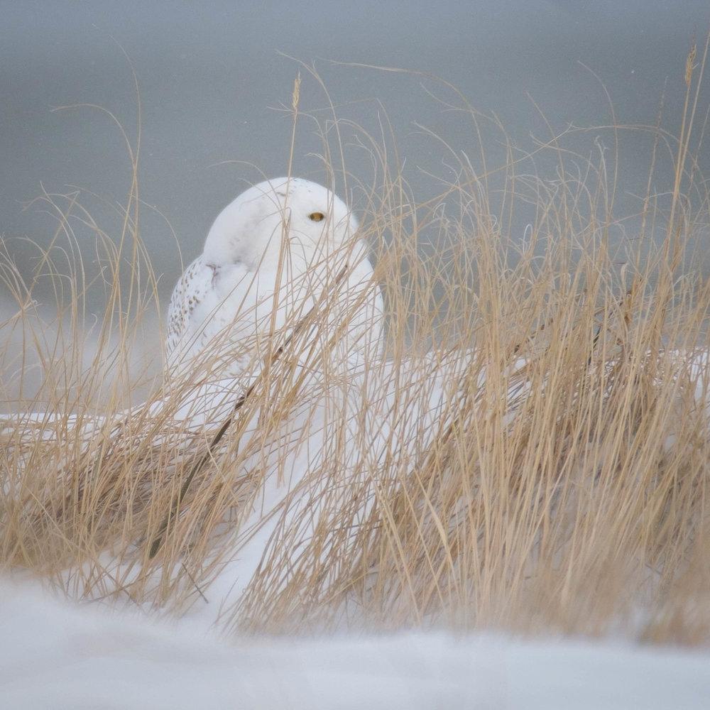 Snowy Owl-Presque Isle_1.2.18-21.jpg