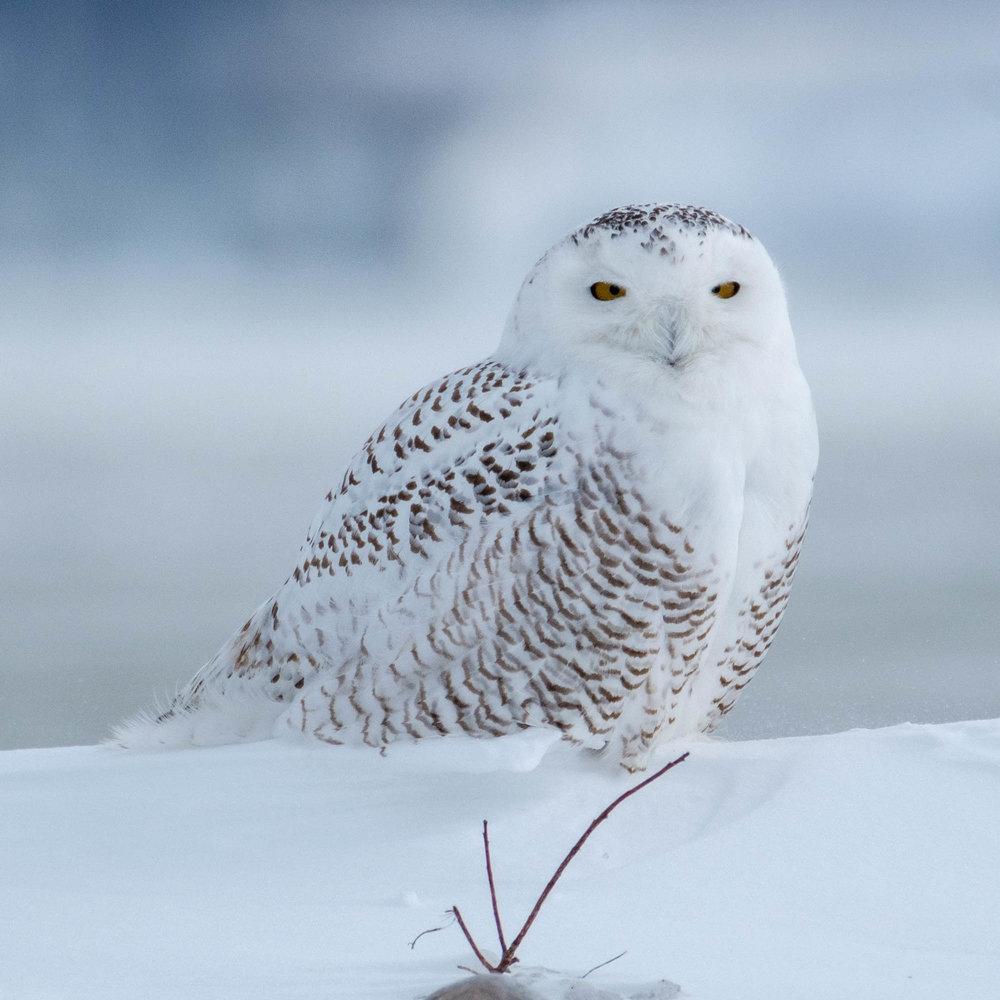 Snowy Owl-Presque Isle_1.2.18-81.jpg