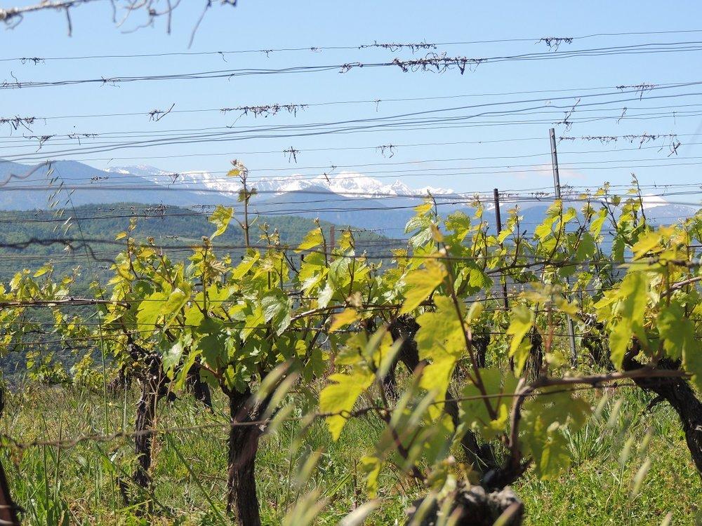 vignes et Pyrénées.jpg