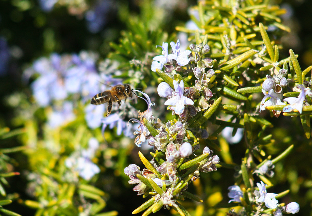 Les abelleshan aparagut,de sobte, al mateix temps que el romaní ha començat a florir. The bees have suddenly appeared to coincide with the blooming of the rosemary.