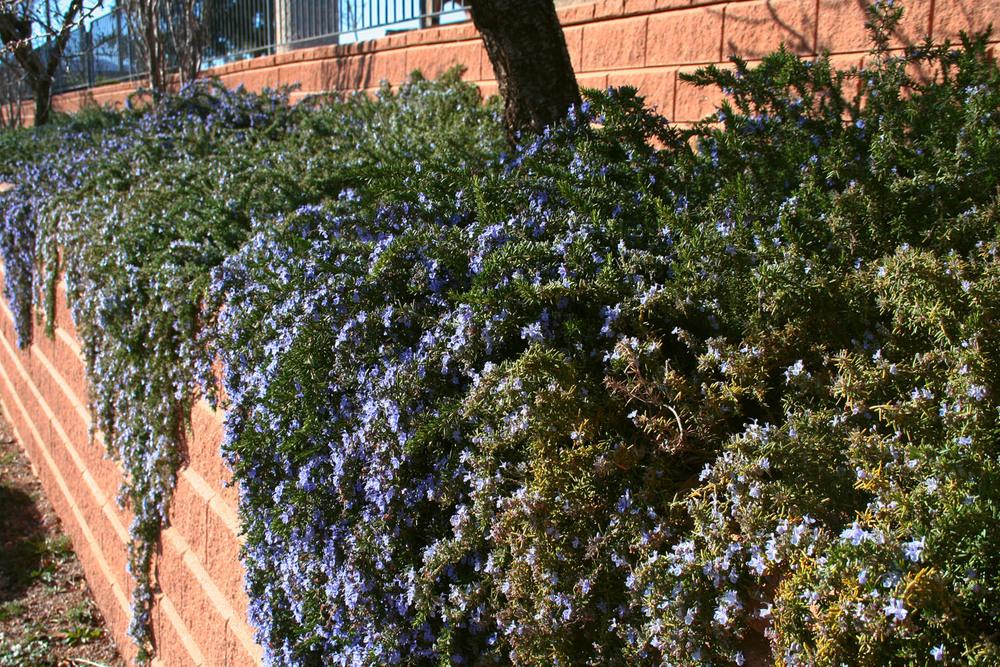 Blau intens del romaní que penja. L'olor és espectacular. Intense pendant rosemary's blue color. It smells soo good!
