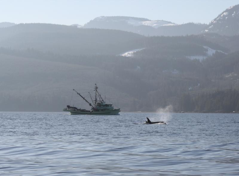 Harvest boat-whales.jpg