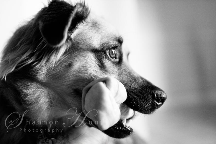 German Shepherd mix by Temple, TX pet photographer
