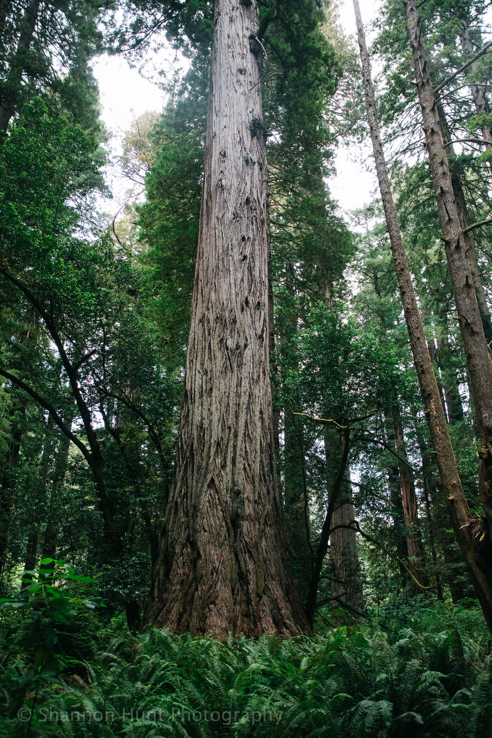 Redwoods are so difficult to photograph. They're so huge, and you're so close that normal lenses only show you a small fraction of the tree. But wider angle lenses make them look narrower and smaller than they are in person. They're overwhelmingly wide and tall. Here's a tree, and in the next couple of photos we stand next to the same tree to TRY to give an idea of its grandeur.