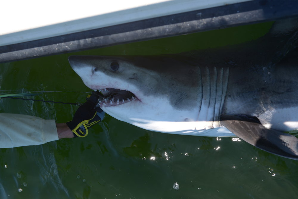 First Great white of 2018 being released