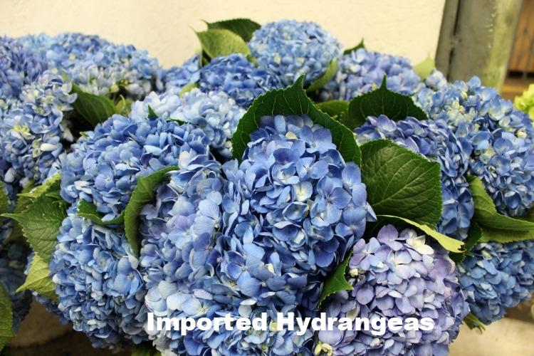 Imported Hydrangeas