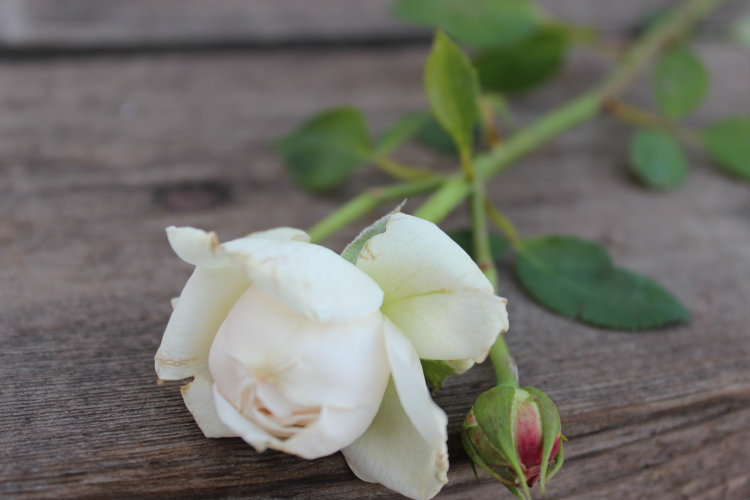 Fair Bianca Garden Rose:  Double/Full Bloom White/Cream Color