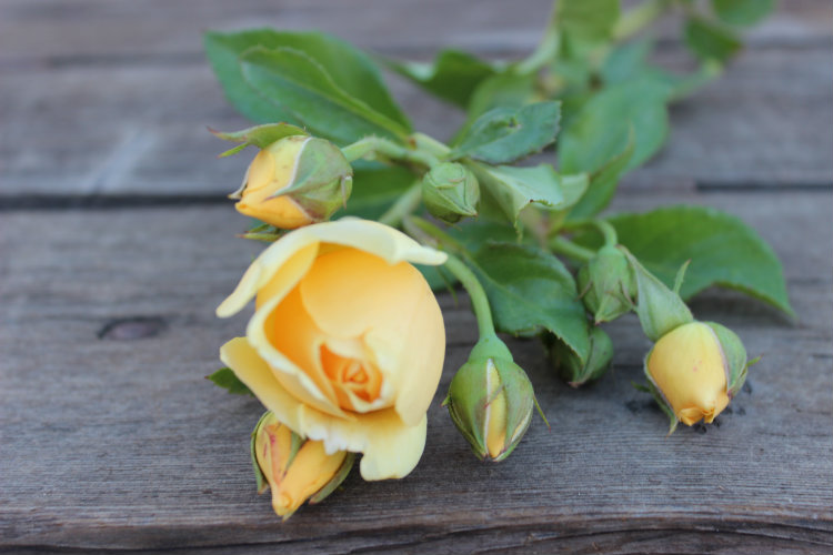 Graham Thomas Garden Rose:  Deep Gold Yellow Color & Double/Full Bloom