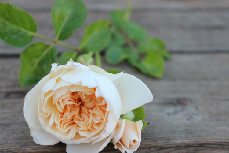 Jayne Austin Garden Rose: Yellow/Apricot Color & Double/Full Bloom