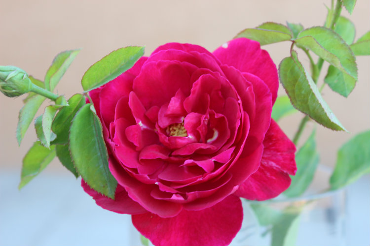 L D Braithwaite Garden Rose: Red/Crimson Color & Double/Full Blooms