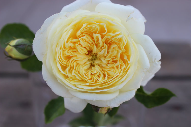 The Pilgrim Garden Rose: Pure Yellow & Double/Full Bloom