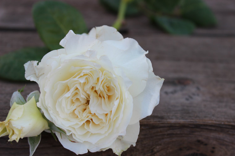 The Swan Garden Rose: White Garden Rose
