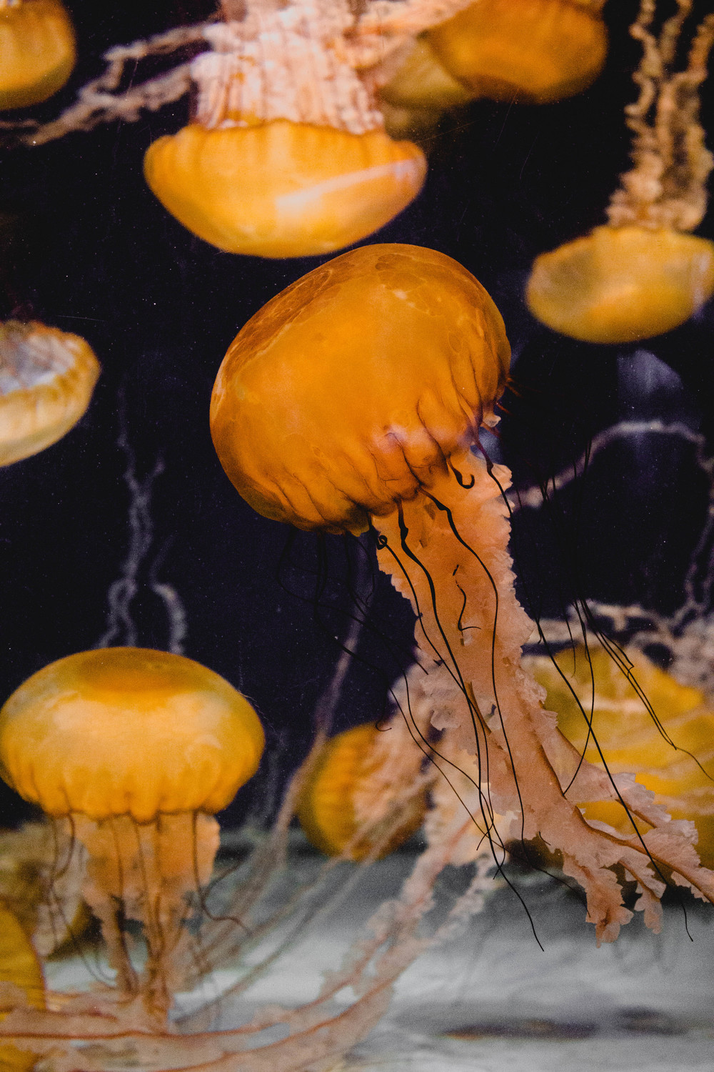 Jellyfish at Long Beach Aquarium.jpg