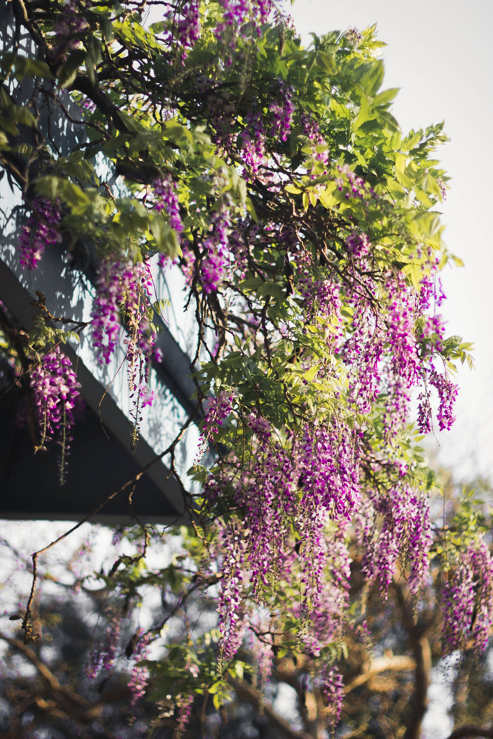 Wisteria in bloom.jpg