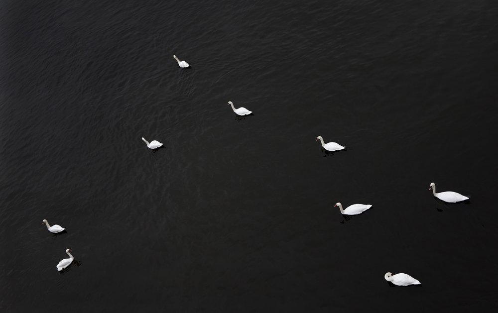Swan_5307 copy.jpg