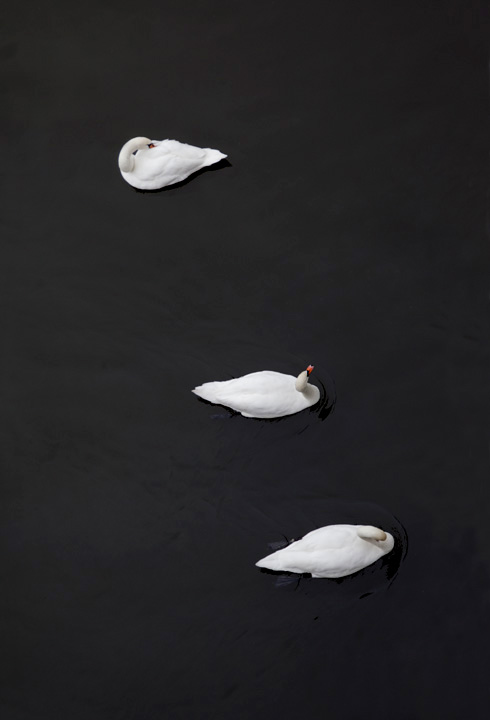 Swan_5320 copy.jpg