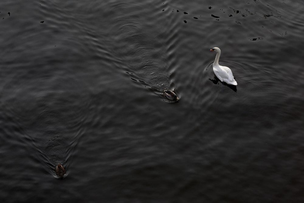 Swan_5388 copy.jpg