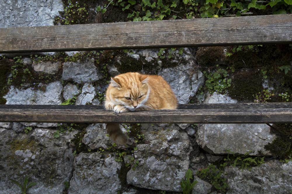 Ginger-Cat-Hallstatt-Austria.jpg