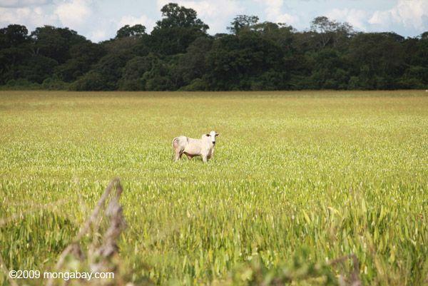 Deforestation Amazon Rainforest Brazil. Animal agriculture, cows, deforestation.