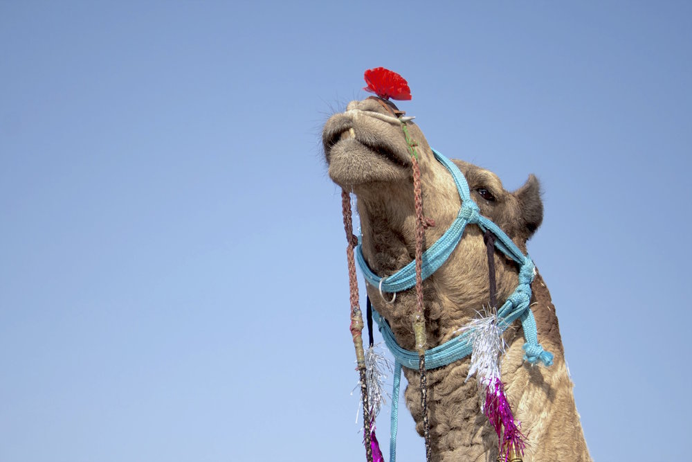 sustainable travel India Bikaner camel