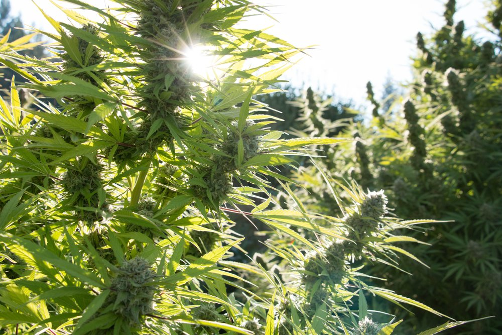 Sungrown California cannabis at one of the farms that Flow Kana works with, image via Flow Kana.