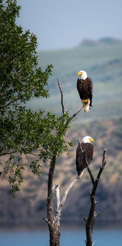 ....L'aigle est un symbole céleste. Plusieurs évocations de cet oiseau apparaissent ainsi dans la Bible. Dans le Deutéronome, par exemple, c'est Yahveh qui est comparé à un aigle. Quant aux anges, tels que les décrits Ezéchiel, ils sont imaginés avec une face d'aigle. Plus tard l'évangéliste Jean sera lui aussi associé à l'aigle, et ce sera parfois même le cas de Jésus au Moyen-Âge. .. The eagle is a celestial symbol. Several evocations of this bird appear in the Bible. In Deuteronomy, for example, Yahweh is compared to an eagle. As for the angels, such as described by Ezekiel, they are depicted with the face of an eagle. Later John the evangelist will also be associated to an eagle, and, on occasions, it will also be the case for Jesus through the Middle Ages. ....