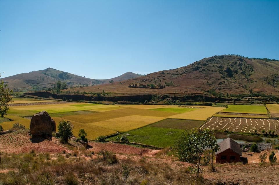 ....Champs de riz, Madagascar ..Field of rice, Madagascar....