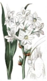 ....Fleur de nard..Nard (flower)....