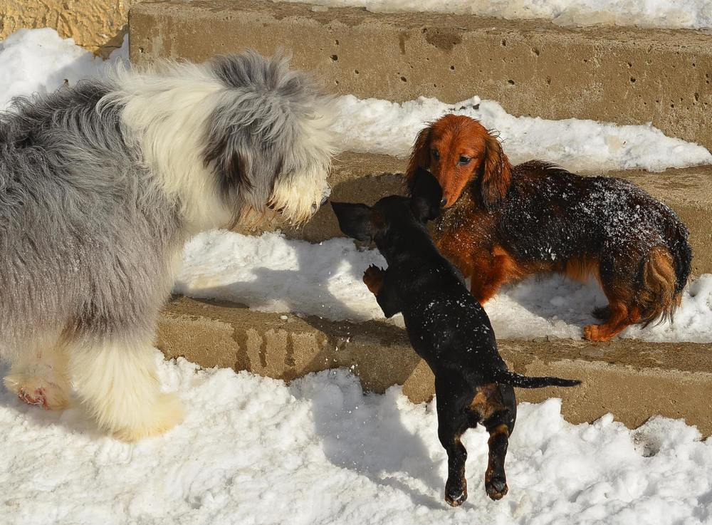 Chetcote    Bearded Collies and Miniature Dachshunds    Enter