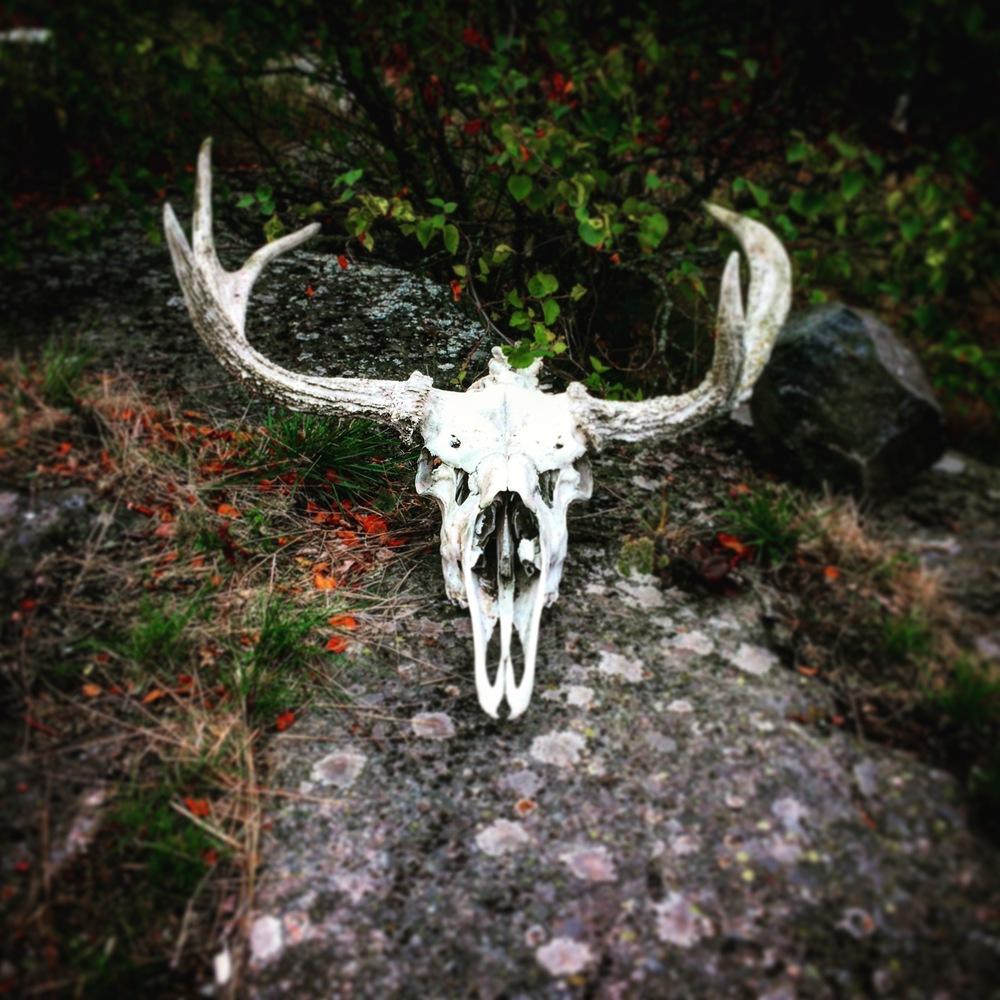 Moose Skull.jpg