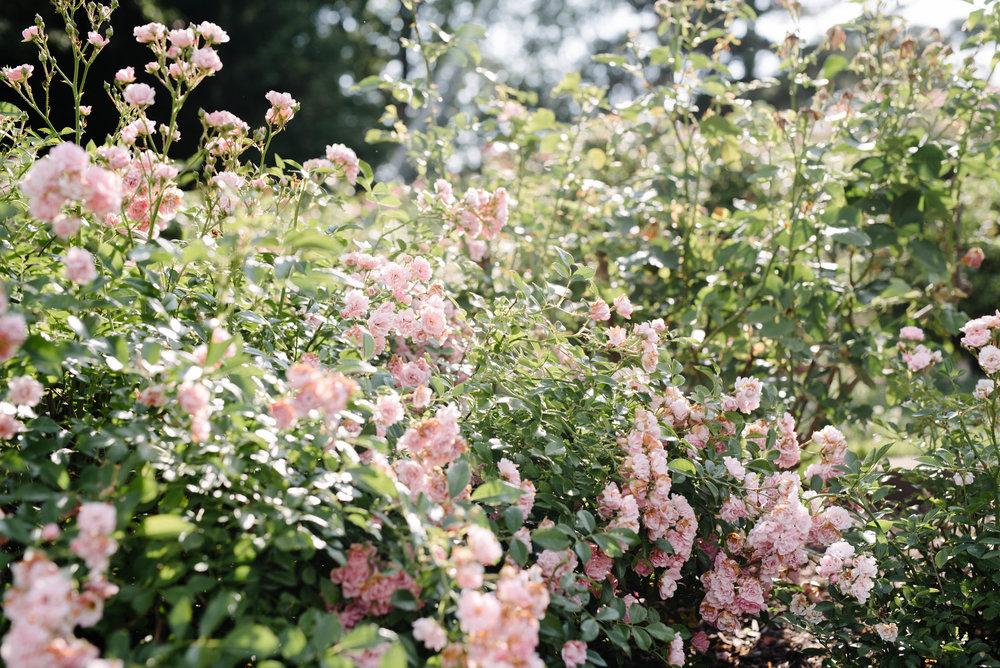 Jen + Kevin- Brookdale Park Rose Garden Engagement Session- Bloomfield New Jersey- Olivia Christina Photo-6.jpg