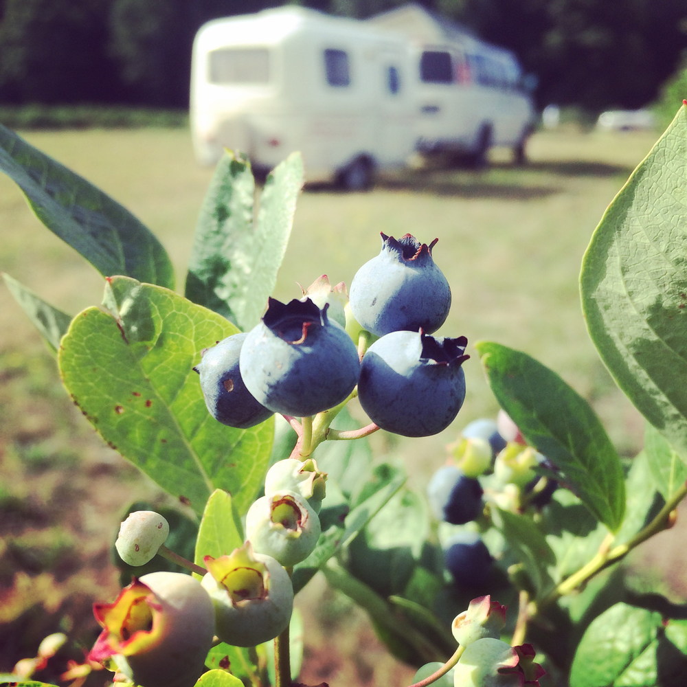 The best blueberries  |  Bridgman, MI