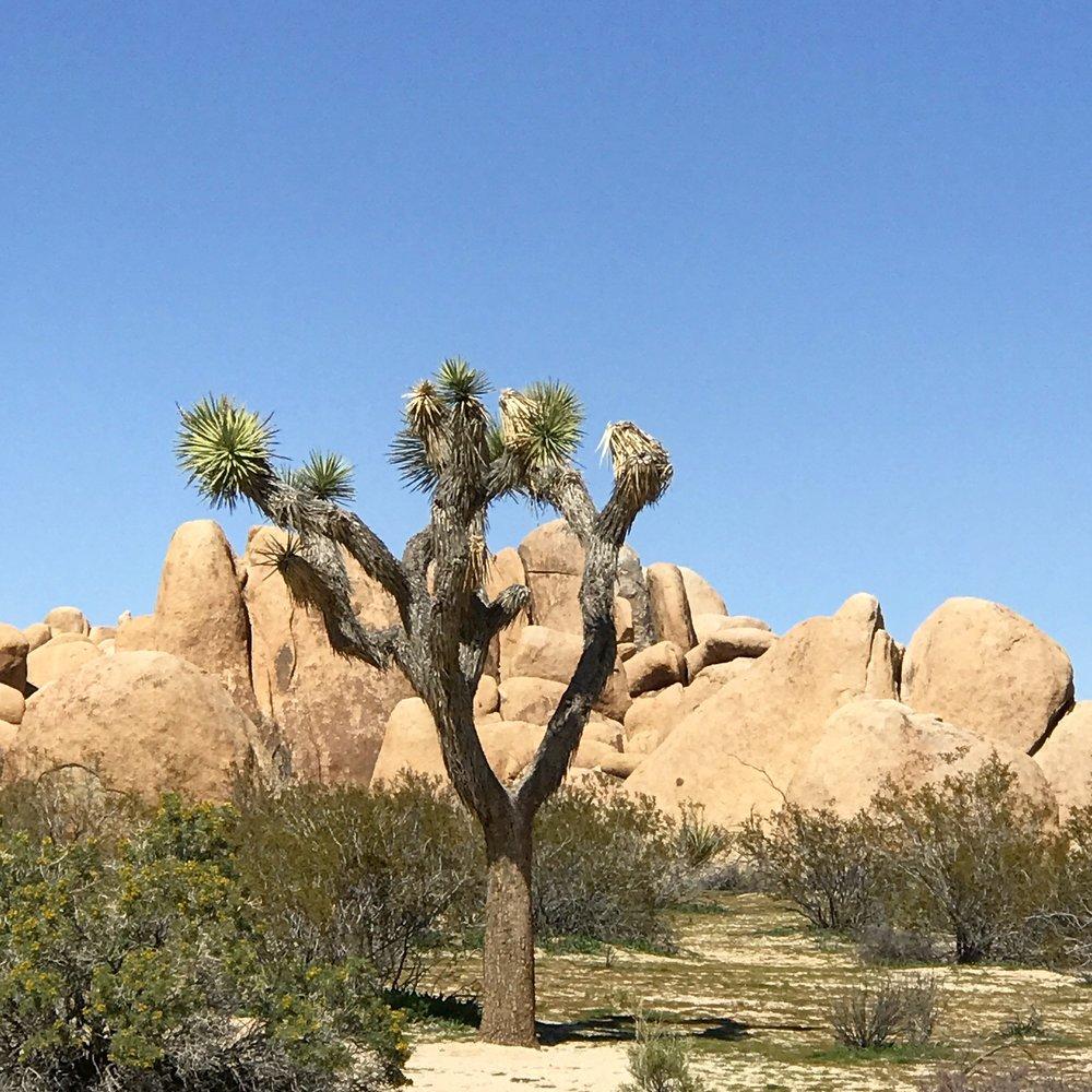 Joshua Tree National Park | Joshua Tree, California