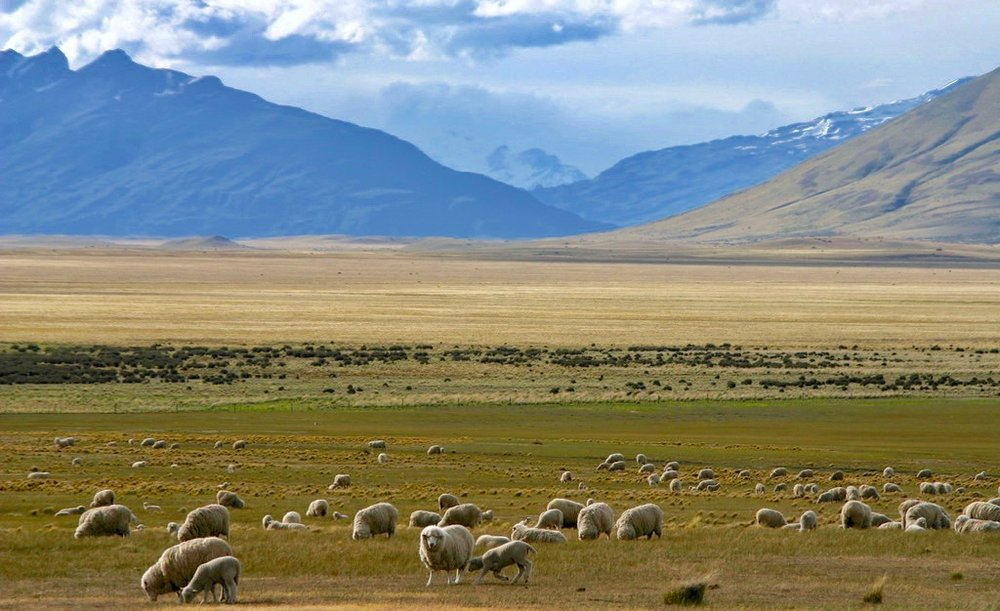 Sheep in Patagonia.jpg