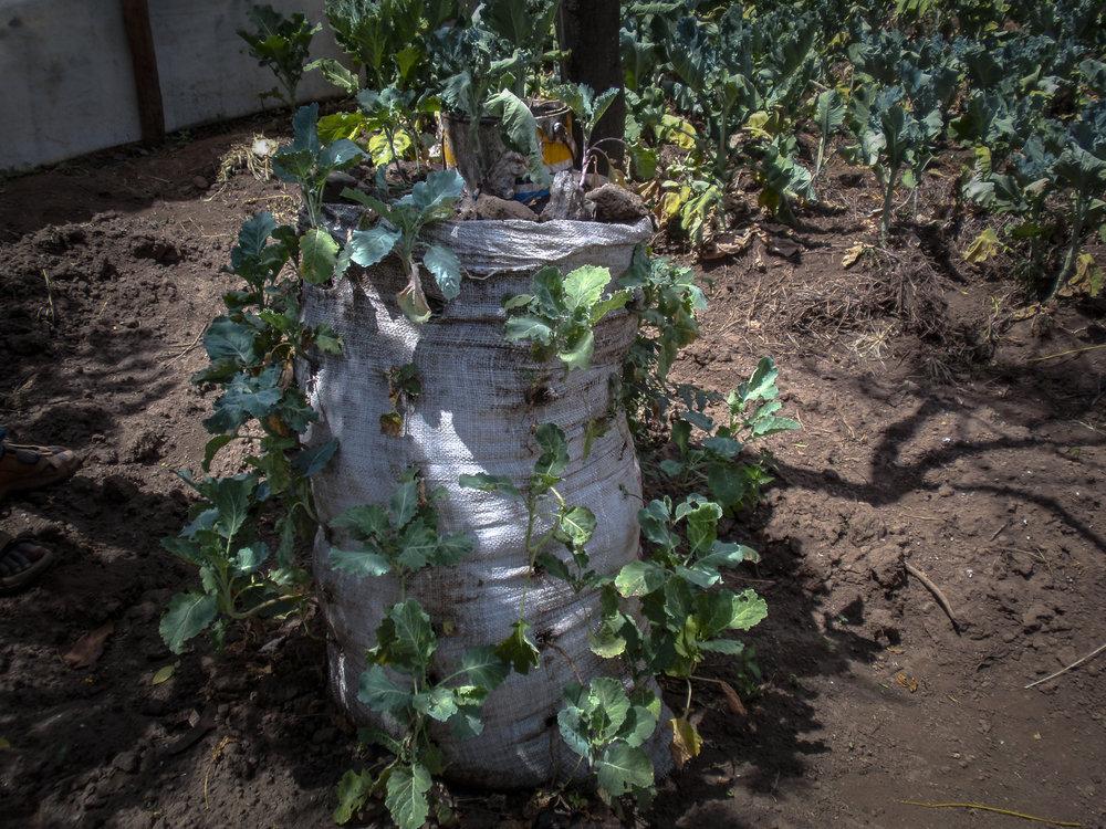 A sack garden conserves water
